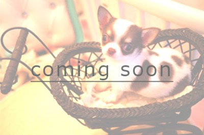 coming soonチワワ
