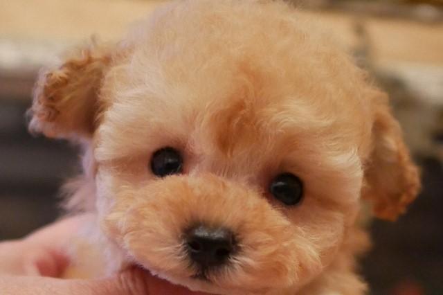 トイ プードル 子犬
